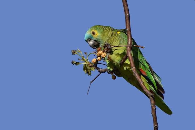 Amazona-de-frente-turquesa (amazona aestiva) em estado selvagem