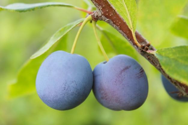 Ameixa azul madura em um galho em um jardim de perto