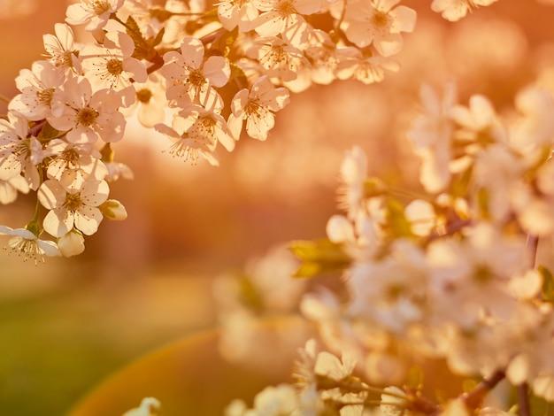 Ameixa de cereja florescendo no parque.