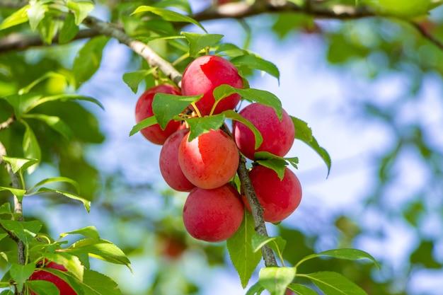 Ameixa de cereja madura em um galho de árvore.