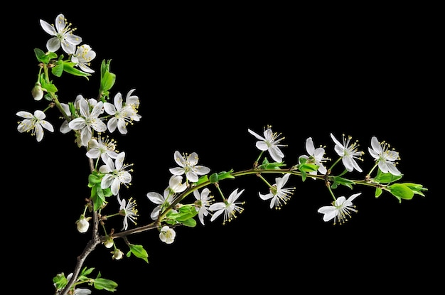 Ameixa de cerejeira em flor branca isolada em preto