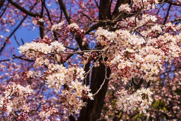 Ameixa flores cor de rosa e céu azul de fundo brilhante