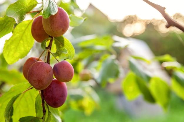 Ameixa vermelha perfeita crescendo em árvore no pomar de ameixa orgânica. opinião da queda do outono no jardim de estilo country. conceito de dieta de bebê vegetariano vegetariano de comida saudável. a horta local produz alimentos limpos.
