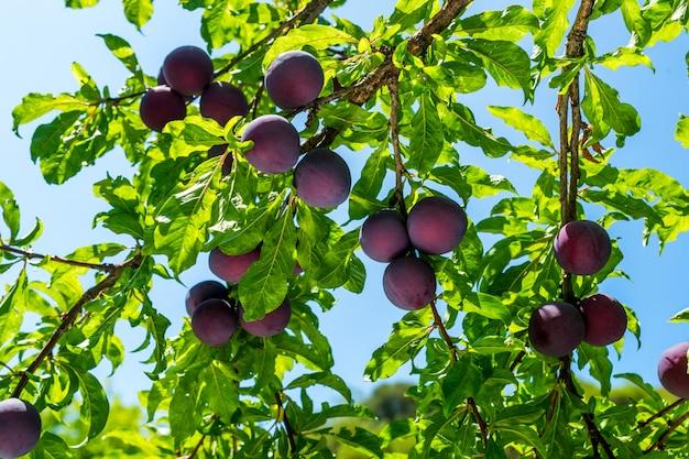 Ameixas maduras na árvore