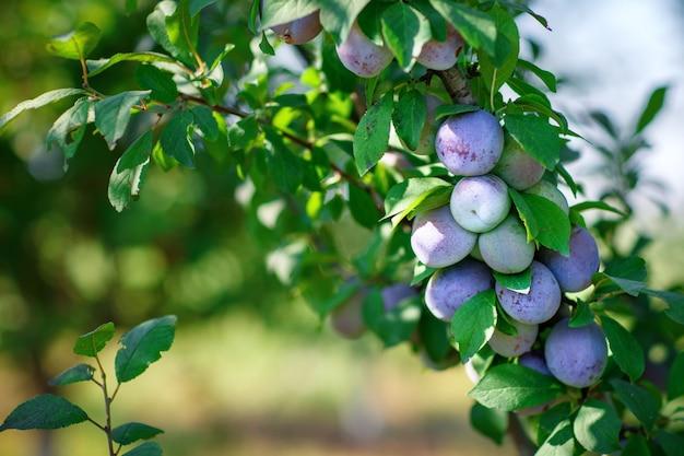 Ameixas orgânicas frescas na árvore. ameixas maduras.