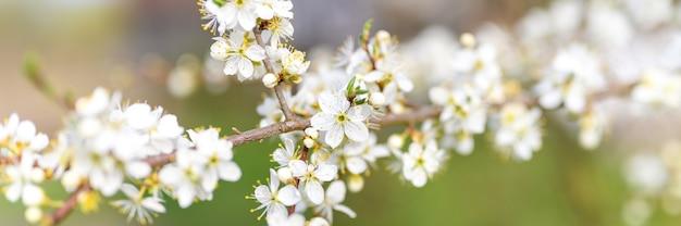 Ameixas ou ameixas secas florescem flores brancas no início da primavera na natureza. foco seletivo. bandeira