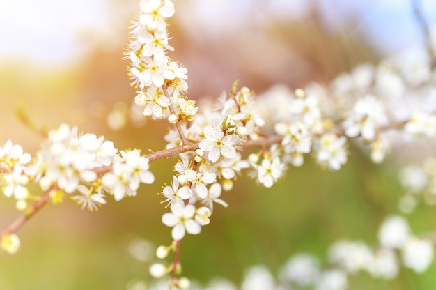 Ameixas ou ameixas secas florescem flores brancas no início da primavera na natureza. foco seletivo. chama