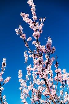 Amêndoa floresce contra um céu azul na primavera