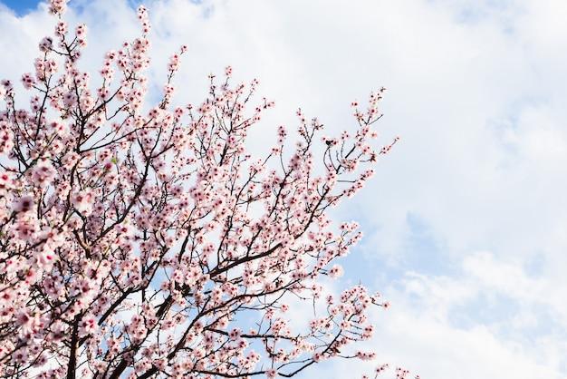Amêndoa floresce contra um céu azul