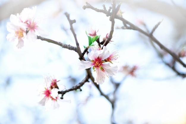 Amendoeira de floração. flor de amêndoa de florescência. dia de primavera de flor. espaço da cópia