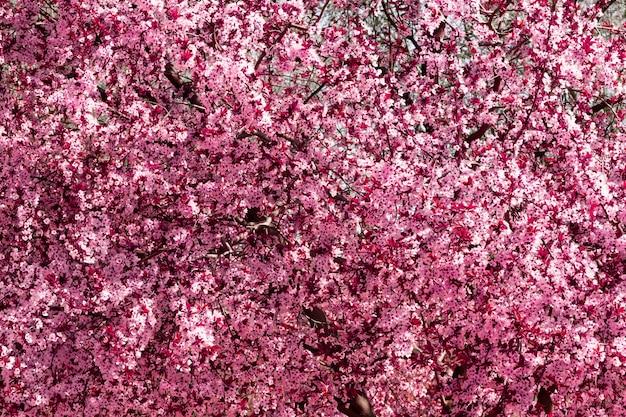 Amendoeira em flor. flor rosa de primavera. fundo.