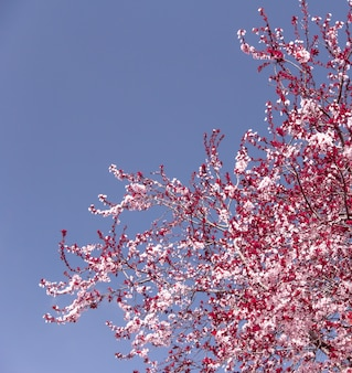 Amendoeira em flor. flor rosa de primavera.