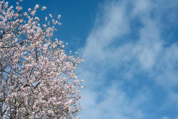 Amendoeira florescendo sobre o céu azul com nuvens, copie o espaço