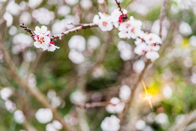Amendoeiras de floração durante a primavera em uma cidade do mediterrâneo