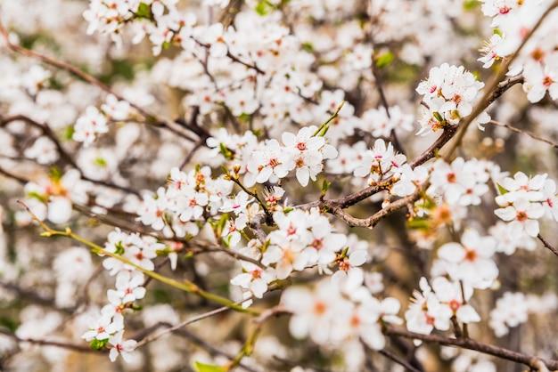 Amendoeiras de floração durante a primavera