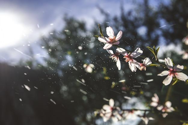 Amendoeiras florescem com a chegada da primavera, fundo suave de cores femininas.