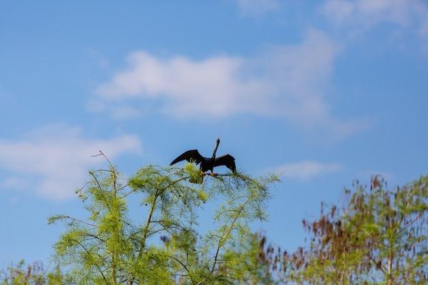 American anhinga, parque nacional everglades, flórida