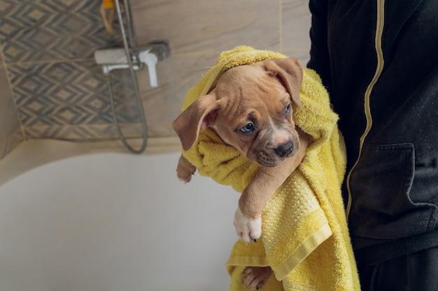 American bully banhando-se, pitbull, limpeza de cachorros, cachorro molhando uma toalha amarela de banho