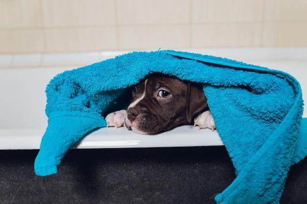 American bully banhando-se, pitbull, limpeza de cães, cão em uma toalha turquesa de banho.