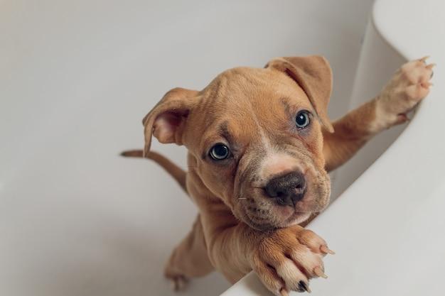 American bully tomando banho, pitbull, limpeza de cachorro, cachorro molhando um banho.