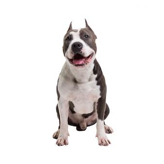 American pit bull terrier está sentado em um branco