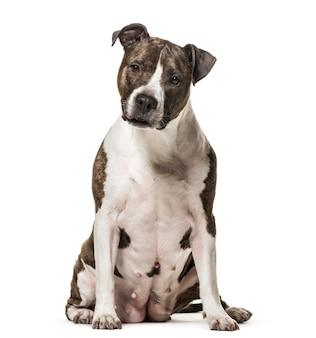 American staffordshire terrier cachorro sentado