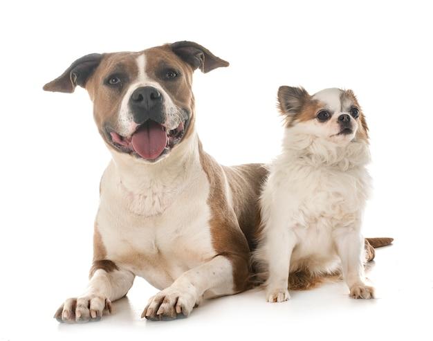 American staffordshire terrier e chihuahua