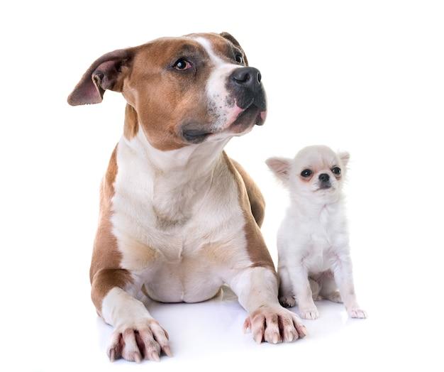 American staffordshire terrier e filhote de cachorro