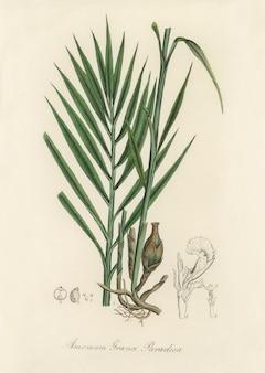 Amomum (amomum granum) paradisi ilustração de medical botany (1836)