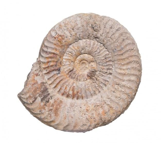 Amonite fóssil isolado com traçado de recorte