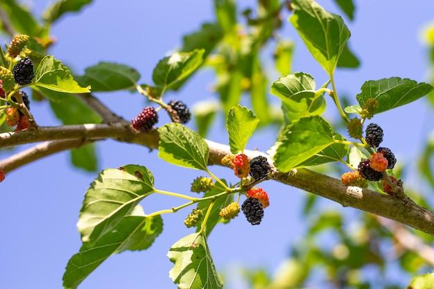 Amoras pretas maduras suculentas penduradas em um galho. colhendo frutas no jardim.