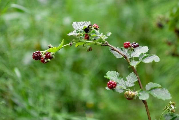 Amoras silvestres maduras penduradas em galhos balançando ao vento na floresta