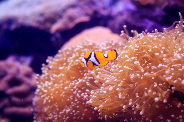 Amphiprion (peixe-palhaço ocidental (ocellaris clownfish, false percula clownfish)) está na anêmona. tailândia.