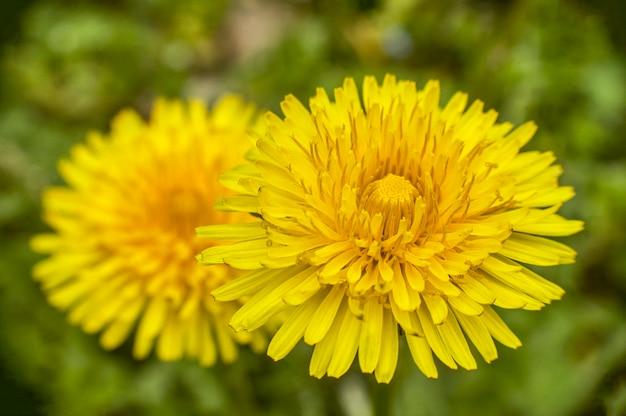 Ampliação da flor dente de leão com um alto nível de detalhes