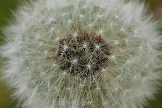 Ampliação de uma flor de taraxacum em sua fase infrutescência.