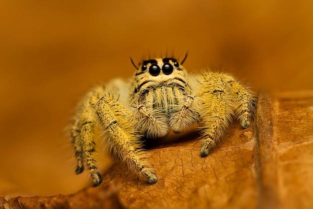 Ampliação extrema, saltando aranha