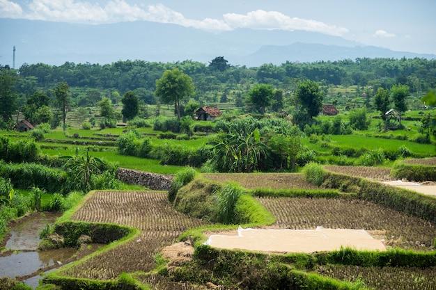 Amplos terraços verdes de arroz em bali