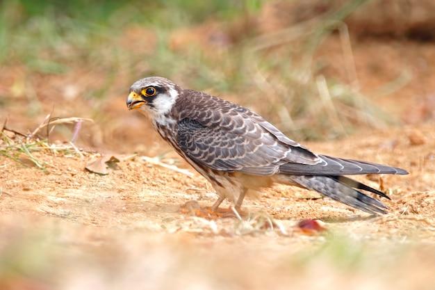 Amur falcon falco amurensis belas aves da tailândia