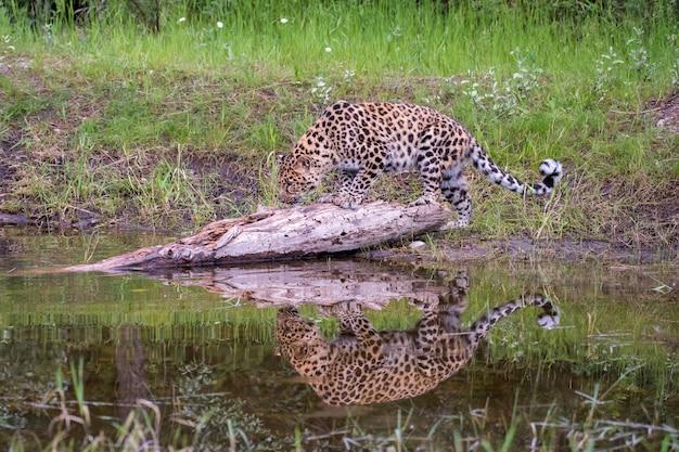Amur leopard caminhando ao longo da árvore caída na água com reflexão