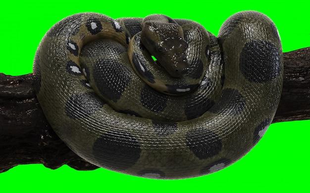 Anaconda verde do constrictor de boa com trajeto de grampeamento.