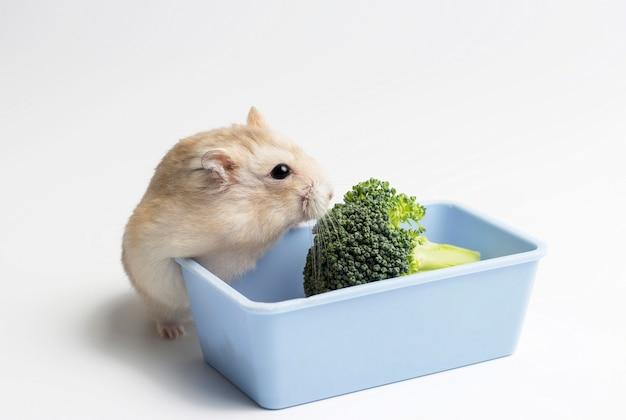 Anão hamster peludo e brócolis na calha de alimentação no fundo branco