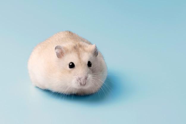 Anão hamster peludo encontra-se em close-up de fundo azul, cópia espaço