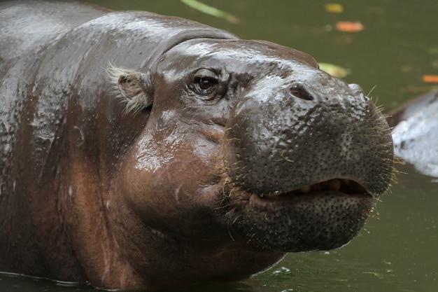 Anão hipopótamo sorrir no rosto na água