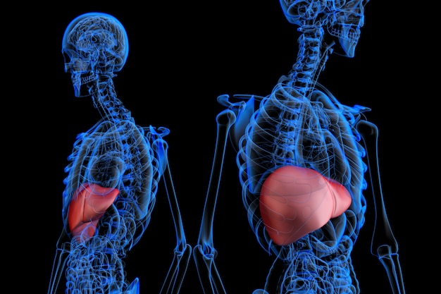 Anatomia masculina humana com fígado highlited. ilustração 3d. contém o traçado de recorte