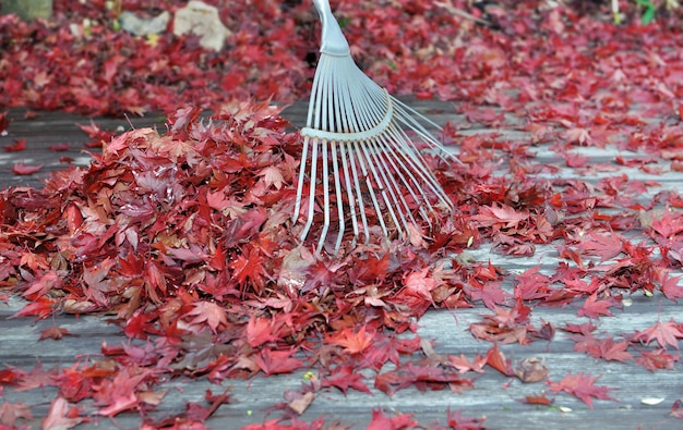 Ancinho em um monte de folhas vermelhas de bordo japonês caído em um terraço de madeira