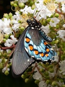 Andorinha borboleta borboletas papilionidae