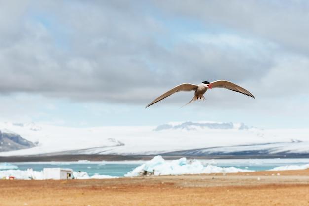 Andorinha-do-mar ártica na nuvem azul do fundo branco