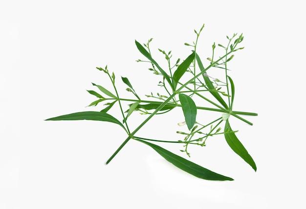 Andrographis paniculata planta em fundo branco
