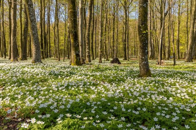 Anêmona de madeira bonita, flores da primavera na floresta de faias - anêmona de madeira, windflower, dedal, cheiro de raposa - anemone nemorosa - em larvik, noruega