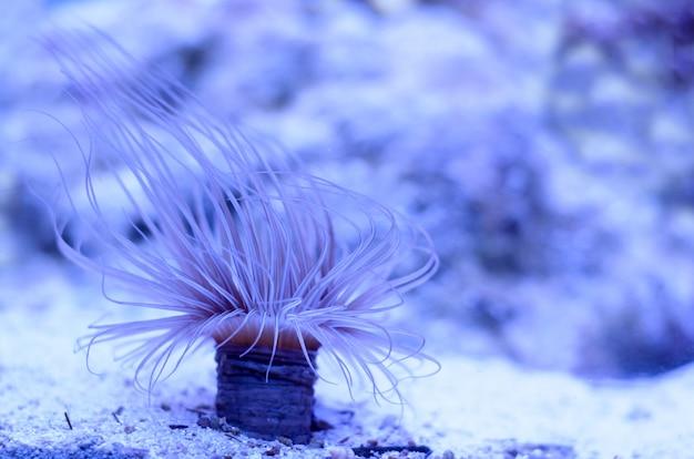 Anêmona de mar em uma água azul escura do aquário.